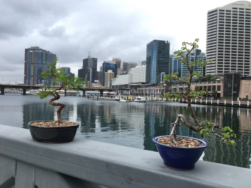 "Bonsai Hire at the ""Pavilion"" Darling Harbour"